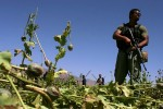 A Dyncorp mercenary stands guard over a field of opium poppies in Oruzgan province, while Afghan Eradication Forces destory the crops with sticks.