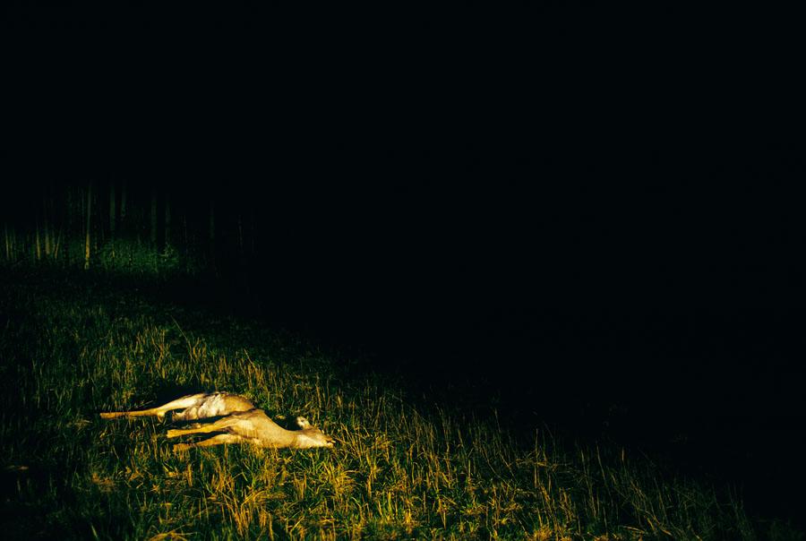 WA_dead_deer