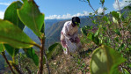 Juana Vasquez, 71, a coca farmer, picks coca leaves in Tocana, a tiny community made up mostly of Afro-Bolivians in the lush Yungas Valley.