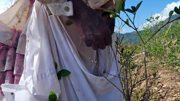 It is a tight shot showing the hands of a 71-year old Afro-Bolivian woman, with a white sack tied around her waist, picking coca leaves.