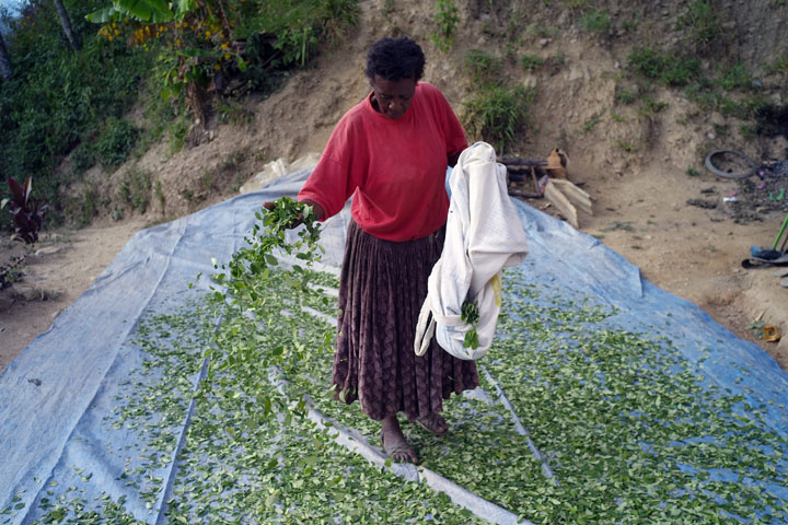 Ms. Vasquez spreads her freshly picked coca leaves out to dry.