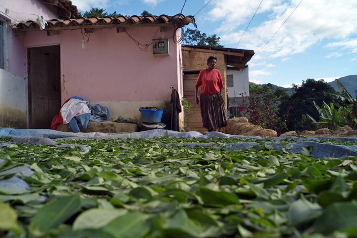 Coca leaves dry in the sun.