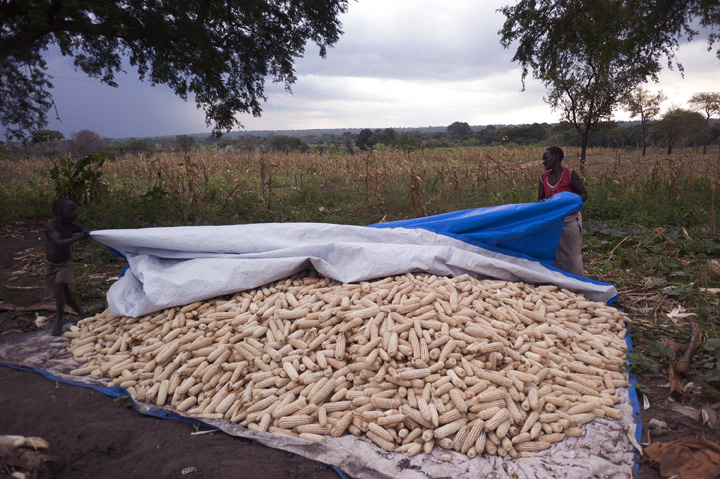 A nine-year old boy runs forward while gripping a tarp as his 42-year old mother holds the other end; they are covering a large collection of maize - rain clouds are visible in the background.