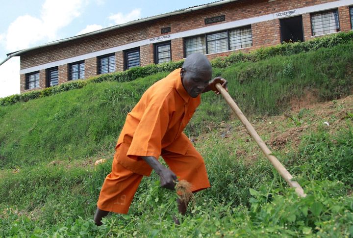 A 49-year old male inmate, dressed in an orange prison outfit, is bent over pulling up weeds; he's holding a long-handled gardening tool.