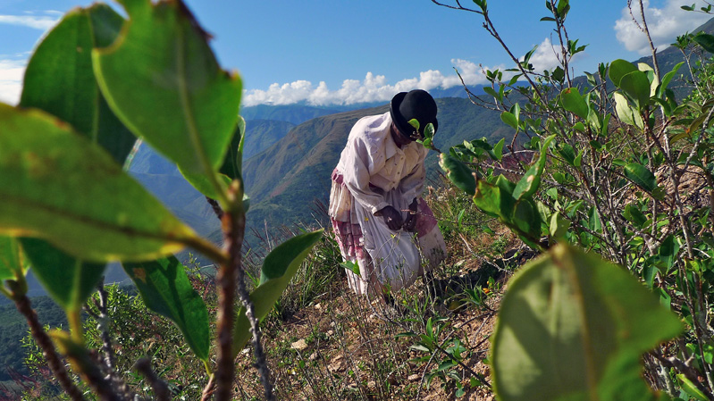Juana Vasquez, 71, picks coca leaves in the lush hills of the Yungas Valley, a tiny community made up mostly of Afro-Bolivians.