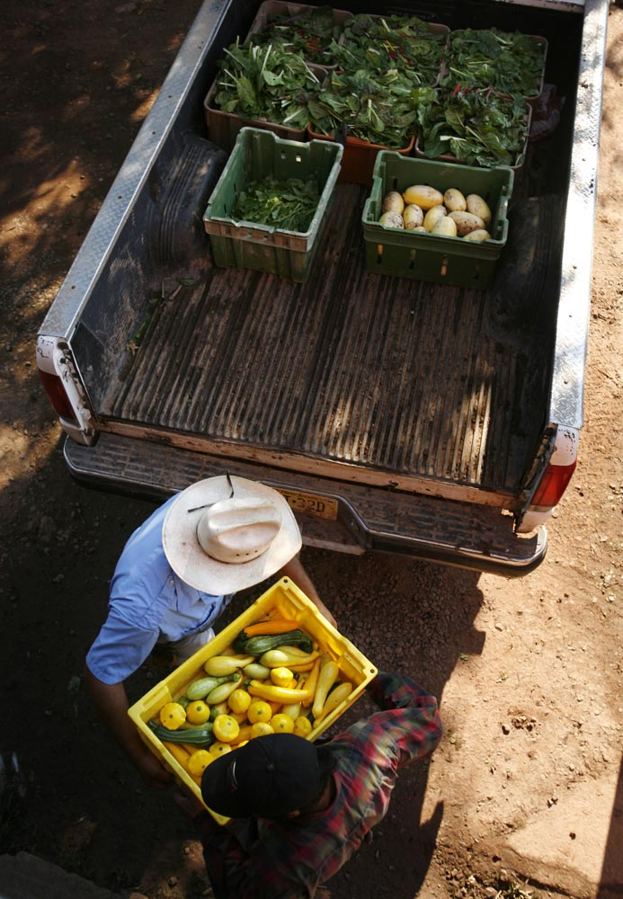 David Camacho passes freshly picked vegatables to other workers as he works on Honey Brook Farm .  Most workers on the organic farm are members of the Camacho family.
