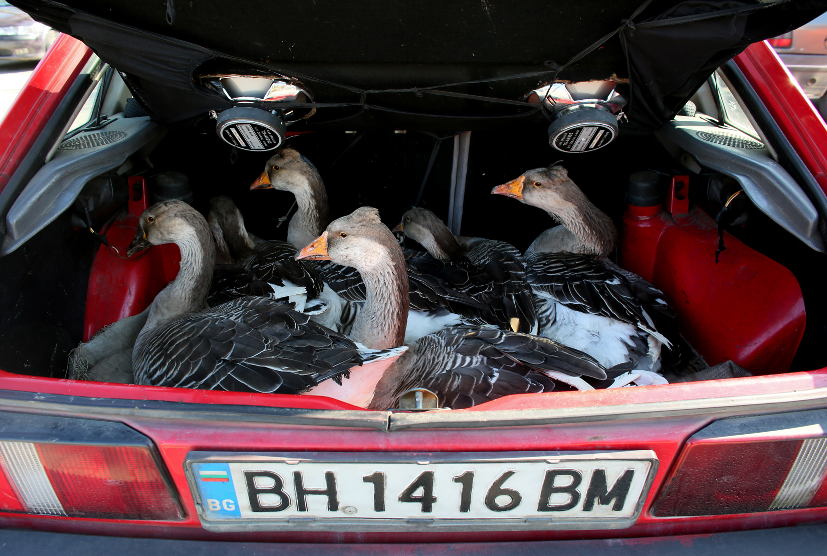 A woman sells geese from the trunk of her car, at an outdoor market in Vidin, Bulgaria on October 18th, 2014. Many Bulgarians sell personal belongings, fruit and vegetables grown at home, or resell goods as a supplement to their primary earnings.