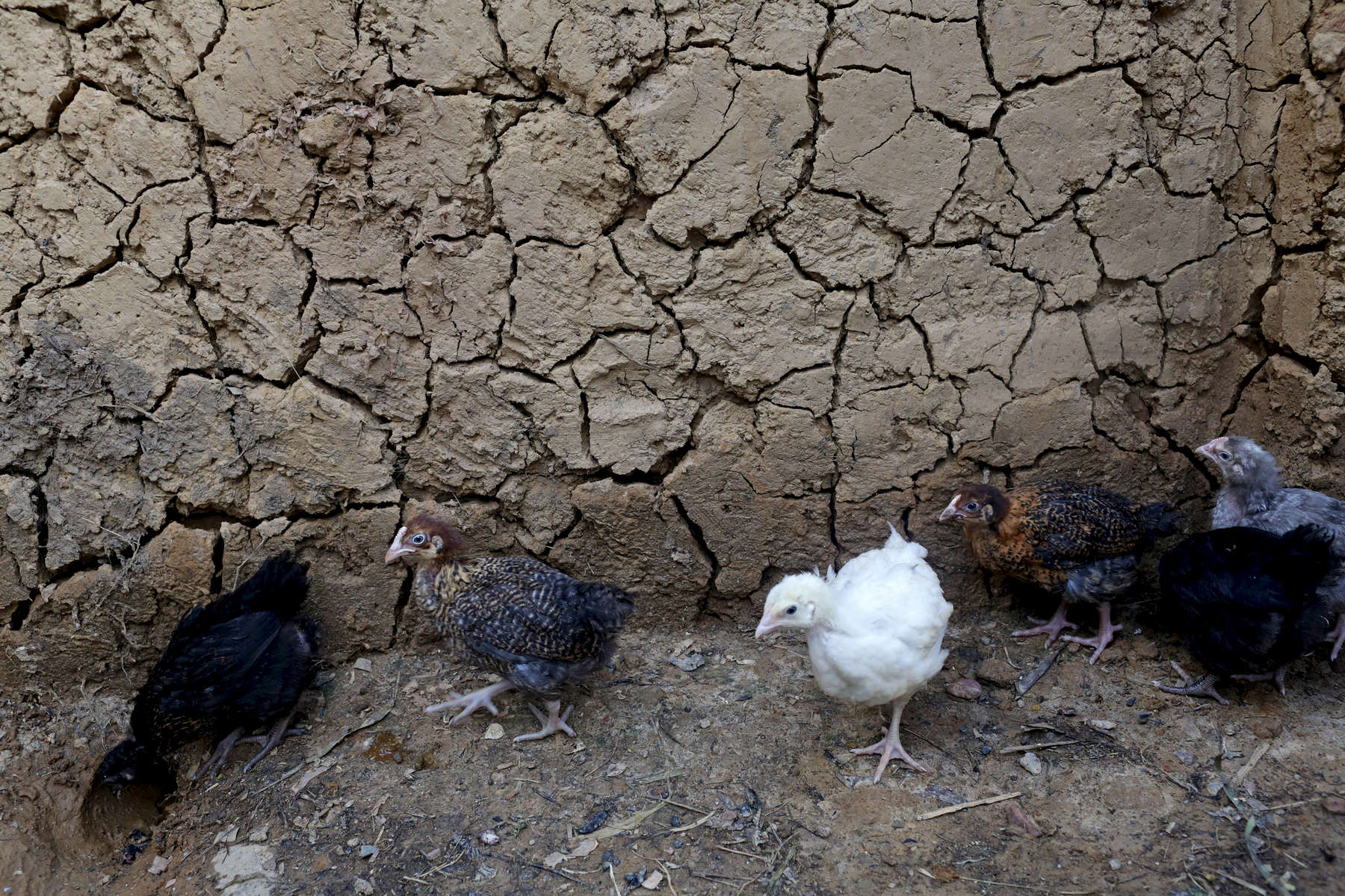 The chicken farm Etiene Twagirayezu, 60, was able to create as a result of saving time via cooking with a biogas digester at his home in Rutabo, Rwanda on November 18, 2017. Twagirayezu says that before his digester, he'd spend up to 3 hours a day gathering 10 kilograms of wood, and saw kids get injured climbing trees and be late to school doing the same. He added he was happy his workload at home was reduced due to being able to use his cow's and pig's poo instead of wood as fuel, as well as about the resulting lessening of deforestation. Nearly half of all Rwandans live in poverty, relying on small-scale farming for survival without gas or electricity. With so many women and children spending hours of the day foraging for wood used for cooking and light, often damaging their eyes, lungs, the forests and atmosphere, a little inventiveness helps. Enter cow and enter pig -- not just as a source of food, but also the heat needed to cook it. Or more specifically, their poo -- the fuel fed to a biogas digester, a tank that converts organic waste into methane.
