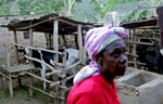 Mwiseneza Winfrid, 62, traverses her yard, where she raises cows, pigs and goats, on November 15, 2017 in the Rulindo District, Rwanda. Winfrid has been a recipient of a biogas digester by a government-financed private company, and says she wishes everybody had access to biogas - not only to drastically reduce cooking time that is otherwise much lengthier when using wood, but also to reduce damage to the environment. She uses the poo discarded from the digester as soil fertilizer. Nearly half of all Rwandans live in poverty, relying on small-scale farming for survival without gas or electricity. With so many women and children spending hours of the day foraging for wood used for cooking and light, often damaging their eyes, lungs, the forests and atmosphere, a little inventiveness helps. Enter cow and enter pig — not just as a source of food, but also the heat needed to cook it. Or more specifically, their poo — the fuel fed to a biogas digester, a tank that coverts organic waste into methane. Photographs by: Yana Paskova