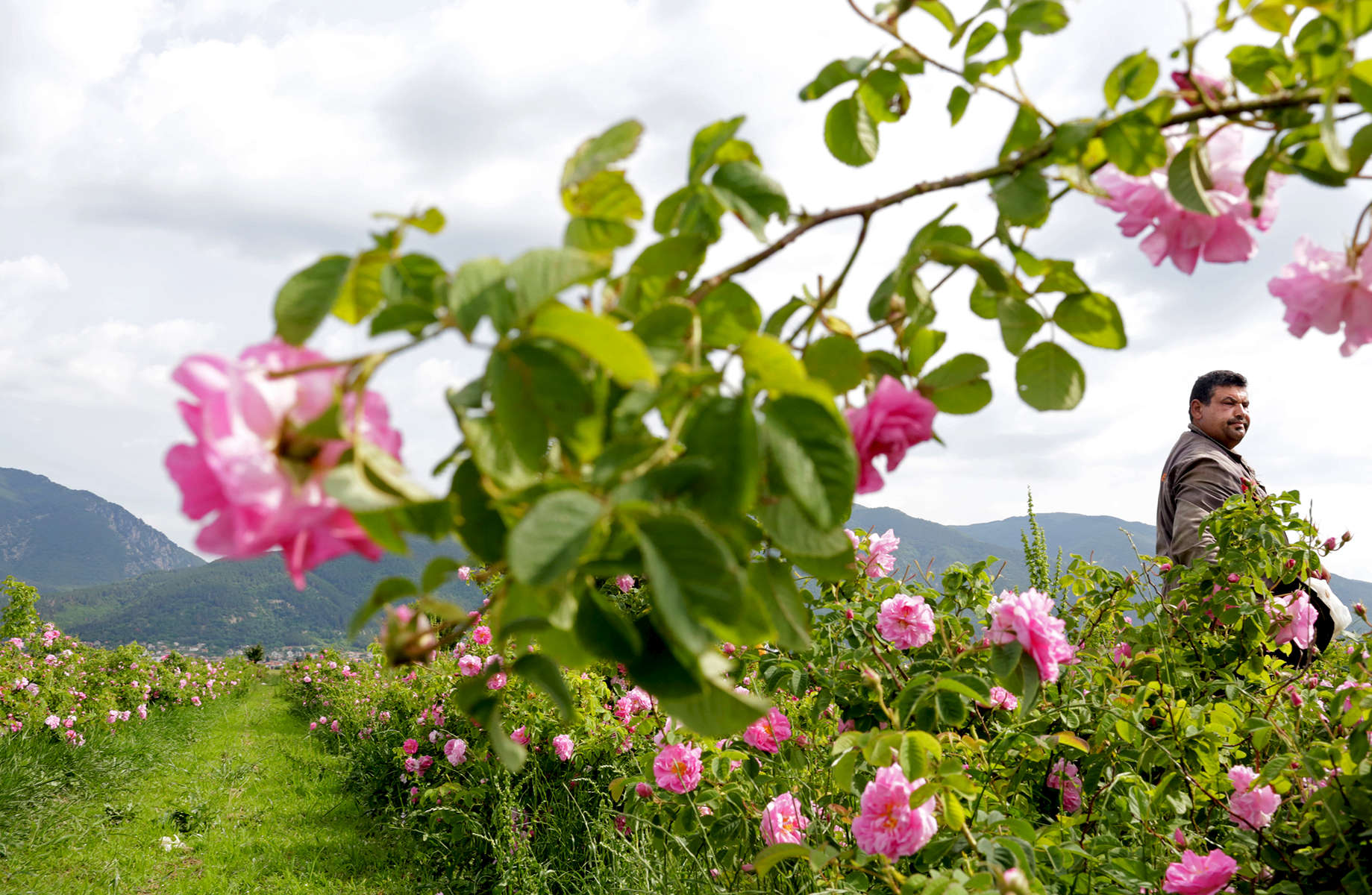 "Rasho Todorov, 40, picks roses in rose gardens in Maglizh, Bulgaria, on May 25, 2018. The most common oil-bearing rose of The Rose Valley is a pink-petaled rose of the botanic type Rosa Damascena Mill. In the Kazanlak region, Bulgarian scientists suspect that the climate conditions have formed a new type, a local population of a Kazanlak oil-bearing rose they call Rosa Kazanlika.One of many accounts traces Rosa Damascena's origins to Damask, Syria's capital (hence, some say, the name); another, to Iran; and Bulgaria's local rose population, to a Turkish merchant in the XVII century. Rosa Damascena no longer grows in the wild on its own - it must be cultivated - and it is said to be a hybrid of 2-3 rose species: Rosa Gallica, Rosa Moschata, with pollen from Rosa Fedtschenkoana. Three to five tons (or 3,000 - 5,000 kg) of rose petals are needed to make just 1 kg of rose oil, hence its nickname, ""liquid gold"" (whereas, 1 kg of rose petals makes 1 kg of rose water.) Roses like sandy, permeable, clay-free soil, and a mild, clear, sunny climate with enough humidity during their flowering period - just the climate of The Rose Valley. Its two rivers and the Balkan mountain range, as a shield from atmospheric volatility, provide these gentle conditions. In the Valley, it is usually sunny before noon, and rainy in the afternoon - with cool mornings and hotter afternoons. Temperature amplitudes during the flowering period provoke the production of rose oil, which is formed as a defense reaction of the plant. The rose flower is very sensitive, and its oil resides in the top layers of the flower, so it evaporates easily with rising temperatures. Cold dew drops in the morning hinder the evaporation of oil, the moist air preserving both the plant's moisture, turgor and oil content, which is why farmers usually pick the flowers between sunrise and 11:00 a.m.Photo by: Yana Paskova for National Geographic Traveler"