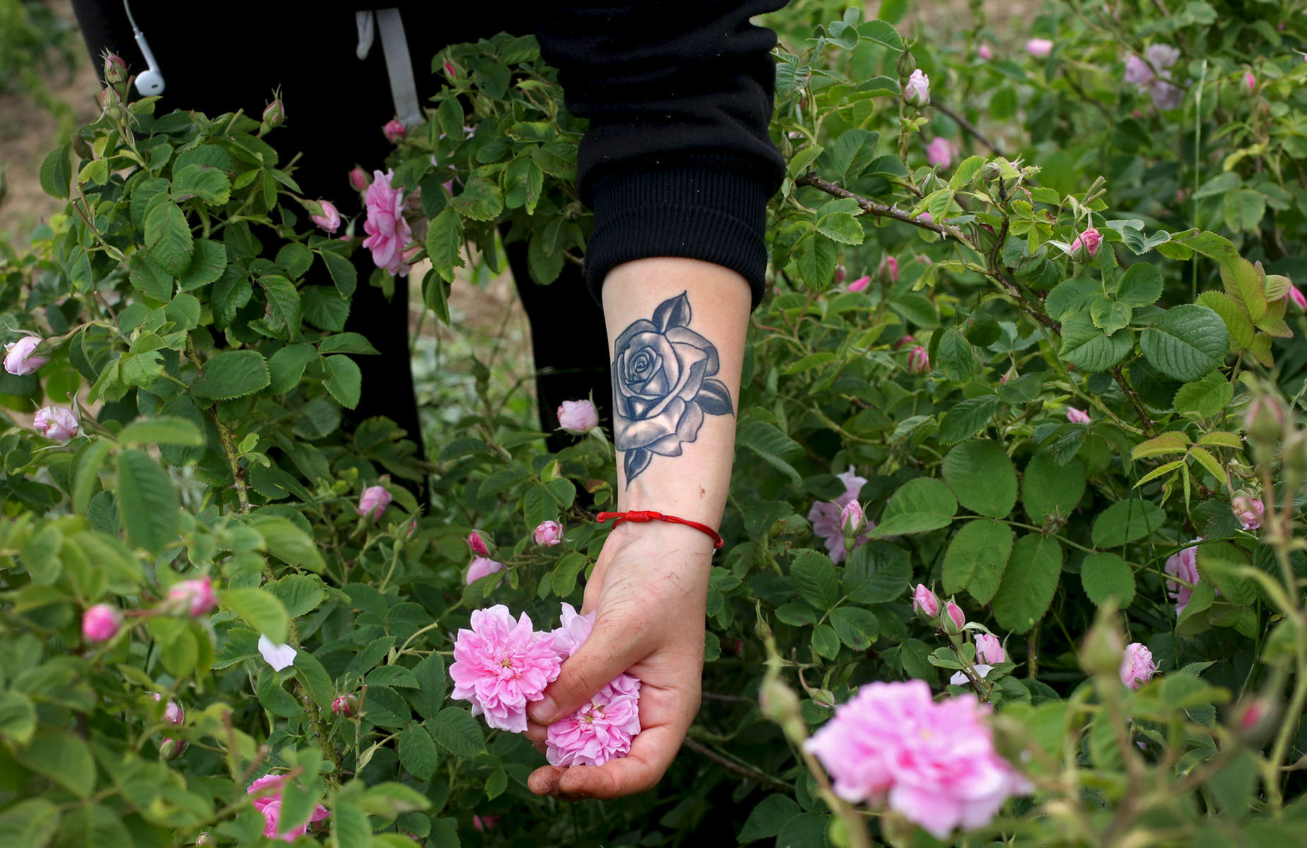 Yoana Mircheva, 16, picks roses in rose gardens in Maglizh, Bulgaria, on May 25, 2018. Mircheva has a tattoo of a rose on her left arm, that she says she got because her paternal grandfather loved roses. Photo by: Yana Paskova for National Geographic Traveler