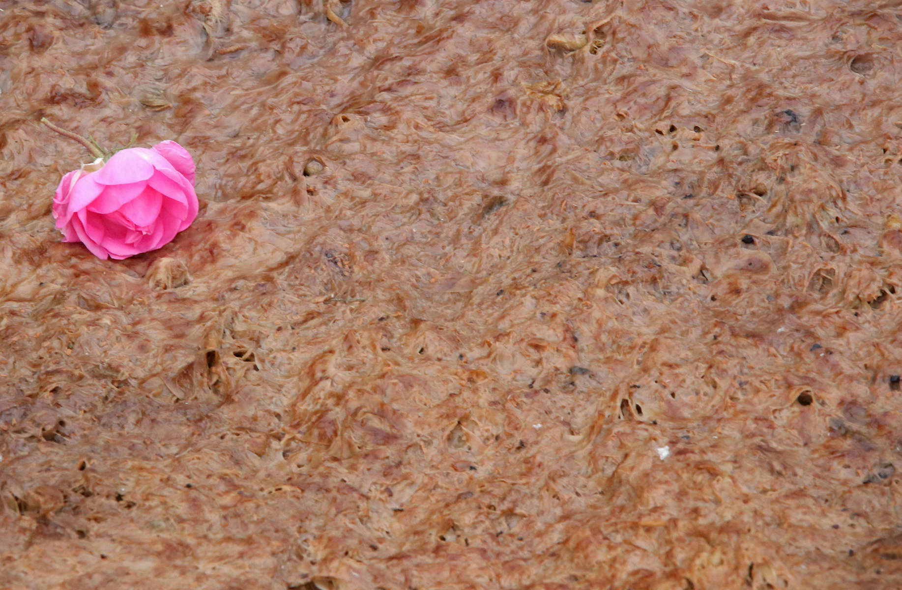 The output of rose petals from distillation at Lema distillery in Kazanlak, Bulgaria, seen on May 24, 2018, is used to fertilize its rose gardens. Each of Lema's caldrons has a 5 ton capacity, and it takes 3 to 5 tonnes of roses to produce just 1 kg of rose oil. Lema, a family-owned rose plantation and production facility of over 40 years, produces mainly rose oil, rose water, lavender oil, and souvenirs. The distillery borders Arsenal (not seen,) Bulgaria's oldest weapons-maker (privatized after the fall of the Soviet Union in 1989.) Arsenal employs around 10,000 people, and has its own kindergarten and hospital on the grounds.Photo by: Yana Paskova for National Geographic Traveler