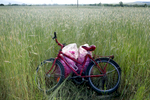 "A bike and a bag of roses, in a field of wheat across from rose gardens in Osetenovo, Bulgaria on May 29, 2018.The most common oil-bearing rose of Bulgaria's Rose Valley is the pink-petaled Rosa Damascena Mill. Scientists unofficially call its local population Rosa Kazanlika, in honor of its breeding ground, Kazanlak - a town regarded as the heart of the valley. Kazanlak boasts a Rose Festival with traditional rose-picking and distillation in the mountains, folk dances, roses ensconced in cakes, soaps, jewelry, wine and rakia (a regional 80-90 proof fruit brandy,) and even a parade in honor of its very own Rose Queen, picked from a pool of high school graduates. The birth place of Rosa Damascena is unclear, but many accounts trace it to Damascus, Syria's capital (hence, some say, the name,) yet others to Ancient Persia in Iran - and Bulgaria's local rose population, to a Turkish merchant in the 17th century. Since Rosa Damascena no longer grows in the wild on its own, it must be cultivated. The sloping valley stretches for about 140 kilometers across a narrow interval between the Balkan mountain range (otherwise named Stara Planina, or Old Mountain in Bulgarian,) and Sredna Gora (Midland Forest) mountain. Once also known for making pistols, ammunition and automatic weapons under Communism, it is now simply famous as the source of an oil likened to ""liquid gold."" Rose oil is thus nicknamed for a reason - it takes an average of 3.5 tons of roses to produce just one kilogram of rose oil, with that kilogram valued between 6,000 and 12,000 euros. Roses like sandy, permeable, clay-free soil, and a clear, sunny climate with mild winters and enough atmospheric humidity during the spring and their summertime flowering period. These are just the conditions found in The Rose Valley - the mountain ranges and two rivers, its shield against atmospheric volatility. In the Valley, it is usually sunny but cool before noon, with hotter, sometimes rainy afternoons. These temperature amplitudes during the flowering period provoke the production of rose oil, which is formed as a defense reaction of the plant. The rose flower is very sensitive, and its oil resides in the top layers of the flower, so it evaporates easily with rising temperatures. Cold dew drops in the morning hinder the evaporation of oil, and the moist air preserves the plant's moisture, turgor and oil content, which is why farmers usually pick the flowers between sunrise and 11:00 a.m.Photo by: Yana Paskova for National Geographic Traveler"