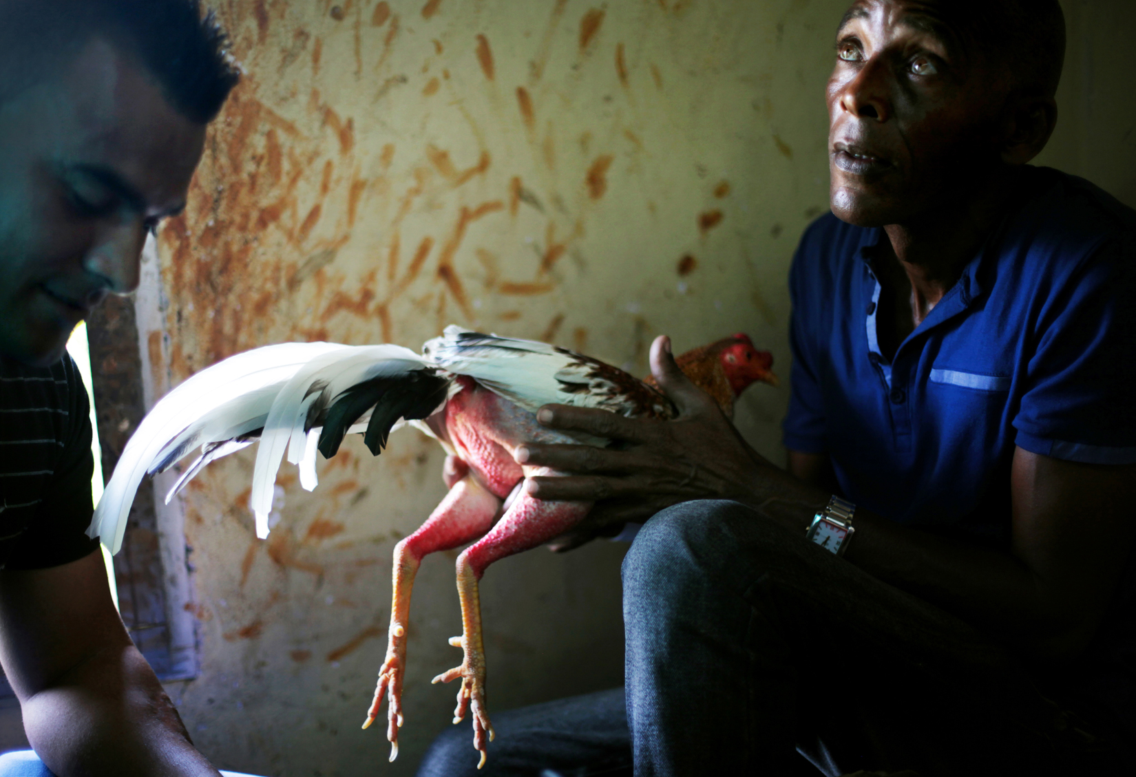 A chicken is groomed, and its nails sharpened and augmented with a long, sharp nail made of a turtle shell, before a cock-fighting event at a sports arena on April 18, 2015 in Managua, Cuba. Cock-fighting in Cuba is in the gray area of legal - state-run events such as this (non-private) functions are permitted, but not monetary betting. This is in part due to lingering bitterness over the control U.S. mafia used to exercise over casinos and prostitution in pre-revolutionary Cuba, the income from which allowed crime lords a certain level of interference in the country's political matters.