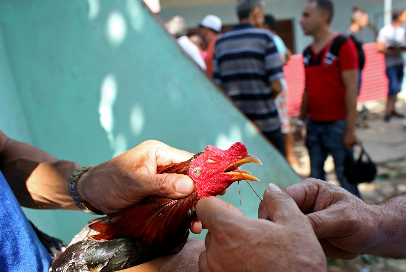 A chicken's beak is tied shut to prevent premature pecking before a cock-fighting event at a sports arena on April 18, 2015 in Managua, Cuba. Cock-fighting in Cuba is in the gray area of legal - state-run events such as this (non-private) functions are permitted, but not monetary betting. This is in part due to lingering bitterness over the control U.S. mafia used to exercise over casinos and prostitution in pre-revolutionary Cuba, the income from which allowed crime lords a certain level of interference in the country's political matters.