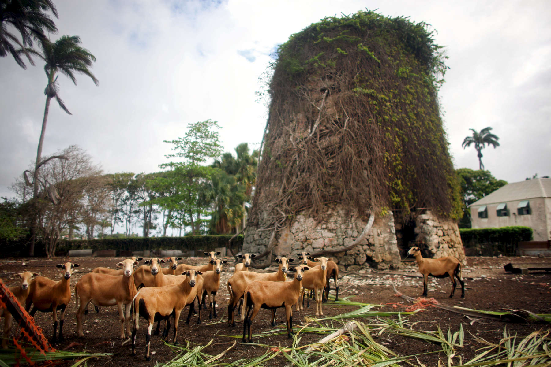 Blackbelly sheep surround a sugar plantation (background right) in Barbados on Saturday, April 10, 2010. (For The New York Times)