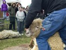 The annual spring celebration and sheep shearing demonstration.