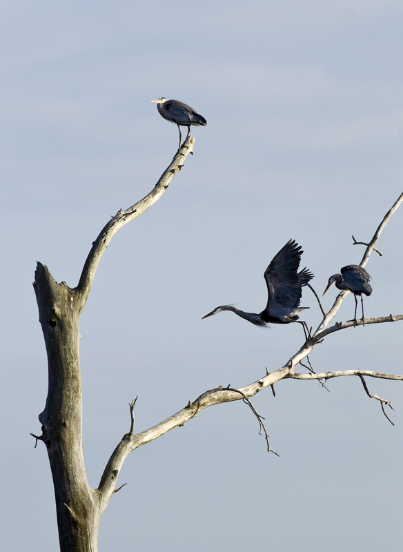 The Blue Herons gathering at their rookery for their spring nesting.