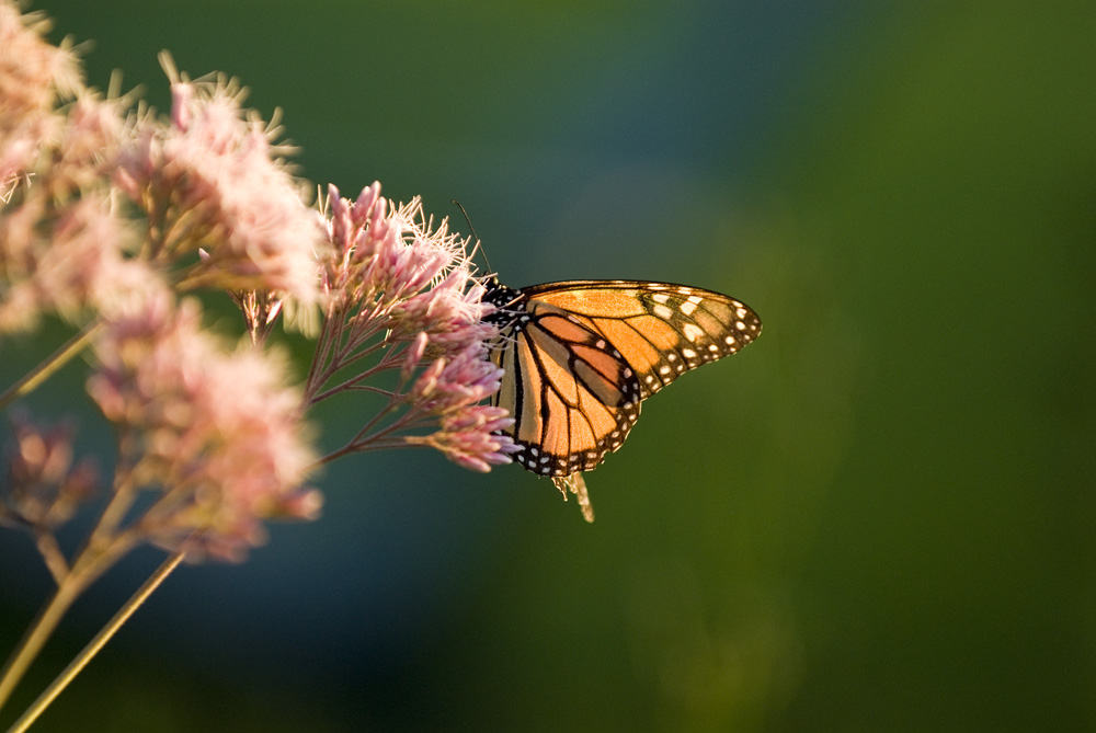 Monarch butterfly feeding on Sweet Joe Pye weed, a native prairie plant