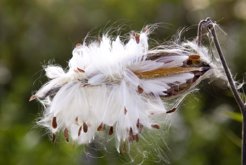 Milkweed pod and seeds in the fall
