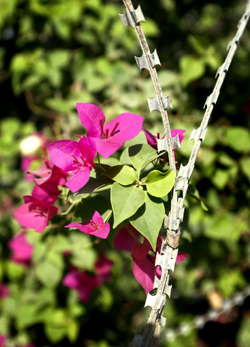 CD-DC-Razor-Wire-Flowers