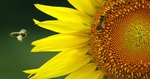 Wednesday August 24, 2005--Honey bees flock to a field sun flowers off of Illinois Route 159 in Maryville on Wednesday.  Temperatures should remain in the 80's for the rest of the week and weekend with a chance of storms through Saturday.PHOTO BY DAVID CARSON/PD