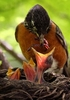 A Robin comes back to the nest to feed it's brood in the Compton Heights neighborhood of St. Louis. The babies hatched over the weekend and the parents have been busy feeding the three chicks.