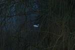 Swan_dusk_9070s