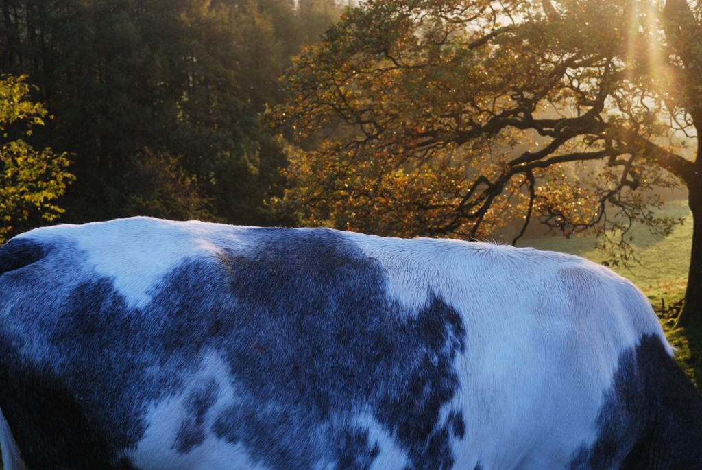 cowspine