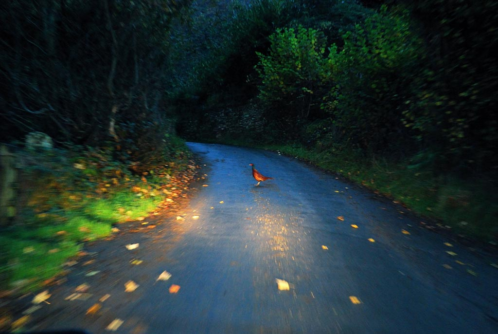 pheasant_evening_hom_936D5C