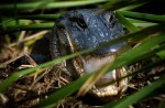A female alligator rests on top of her nest on the northwest side of Lake Okeechobee. The lake has one of the largest alligator populations in the state, making it ideal for the alligator farmers who are permitted to collect eggs each year.