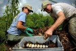 Blair Hayman, left, and Stephen Stiegler carefully collect eggs from an alligator nest in the marsh vegetation on Lake Okeechobee during the yearly public egg collection. The green marks put on the eggs signify that the eggs were found in a dry condition, and because the embryo attaches to the top of the egg, the mark is necessary to maintain that orientation so the embryo doesn't drown in its own fluid. A blue mark would indicate they were touching water and a red mark shows they were underwater. This was a record year for the alligator farmers with 16, 867 eggs collected on the lake alone.