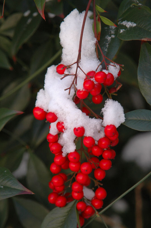 Nandina berries and snow