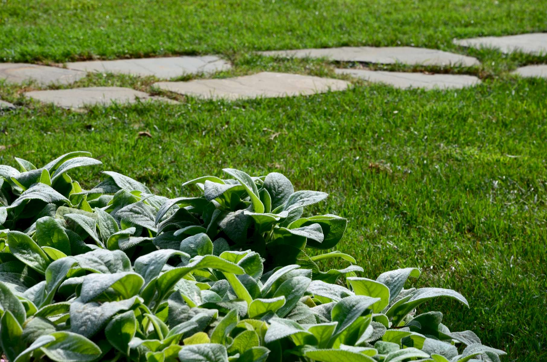 Gentle lamb's ear keeps watch over visitors entering the pool area from the enchanting path.