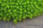 Angelina Sedum shines brilliantly from the patio's edge.