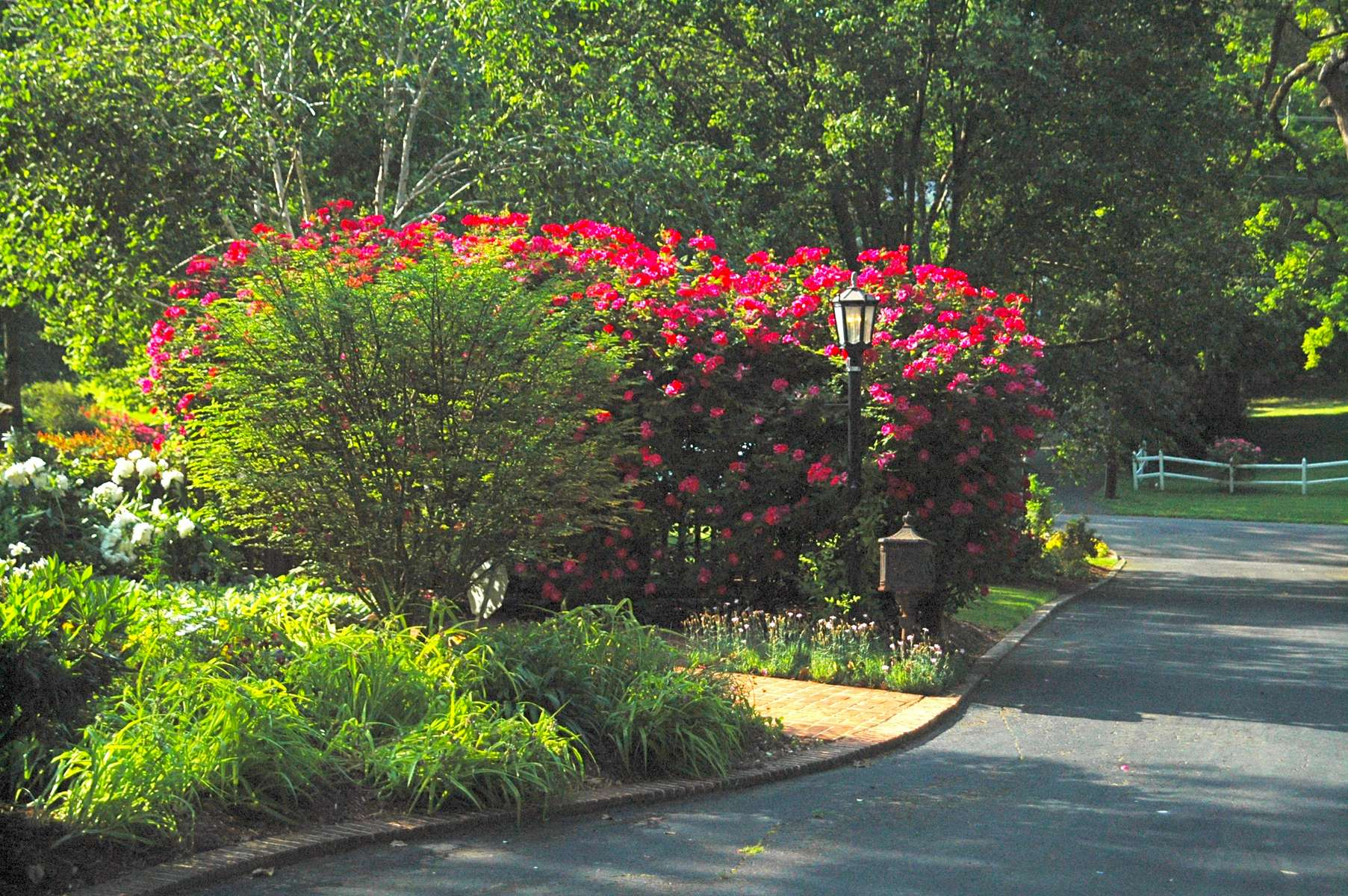 This landscape is even extraordinary from the street as bold introductions of Knockout roses make a lasting first impression.