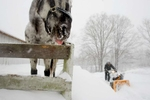 Boxboro, MA 12/21/08 - Selah Smart, cq, 16, of Boxboro, MA, struggles to plow a path to the barn that houses his two horses, Wallapooluza, (left, tongue out) an Appaloosa, and Sara Sioux, a Shetland Pony. {quote}Sara doesn't like the cold,{quote} said Smart, as he cracked the ice from her water bucket. {quote}But Wally loves it,{quote} he added. Areas west and north of 495, such as Boxboro, are being hit especially hard by the second severe winter storm in two days to hit the Boston metro area. Dina Rudick/Globe Staff.