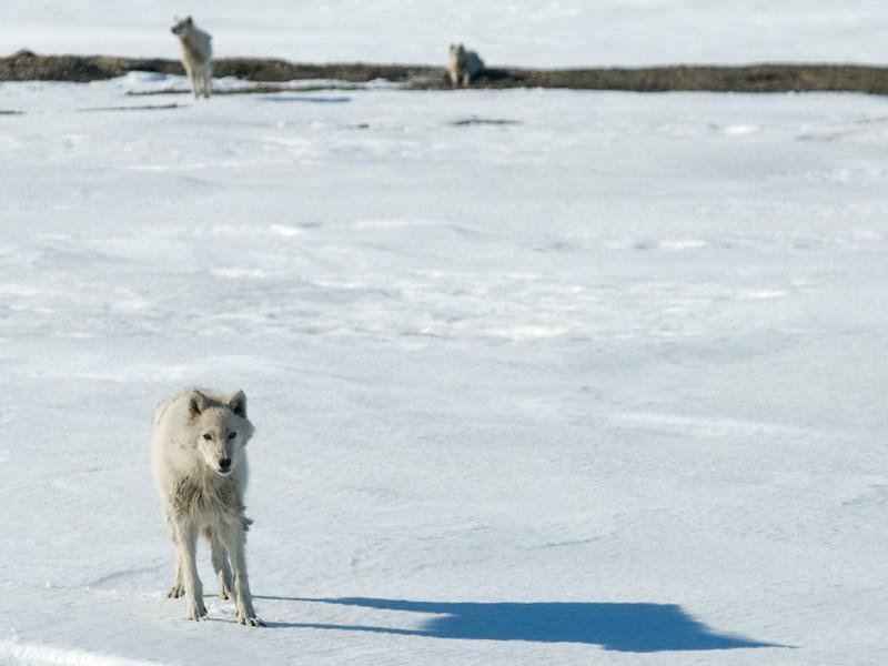 _DSC0022_Wolves