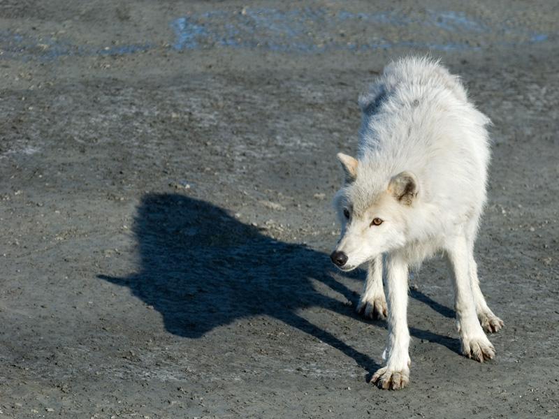 _DSC0022a_Arctic_Wolf