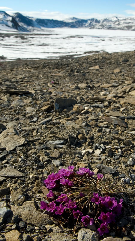 _DSC0085_Purple_Saxifrage_Landscape