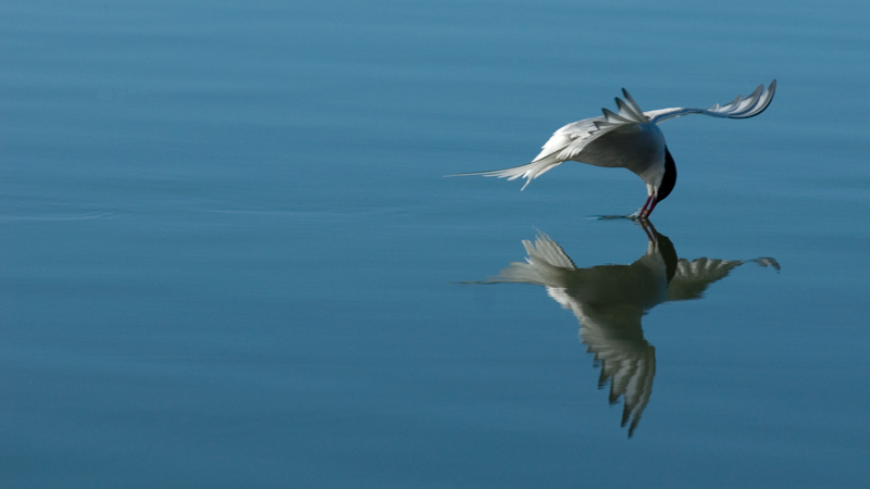 _DSC0161_Arctic_Tern_Reflection