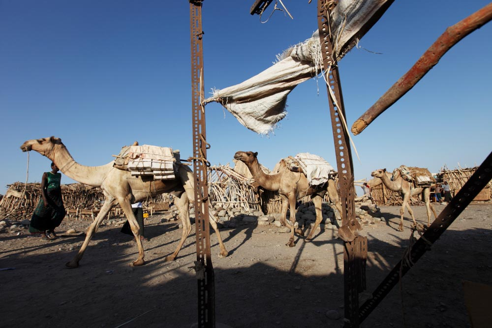 After collecting the salt, camels fully loaded walk through the town of Hammadila.Afar Province, Ethiopia