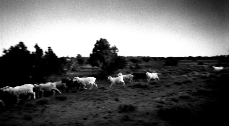Churro sheep return to Navajoland