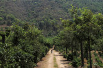 Coffee plantation - Guatemala