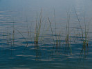 Green grass stalks sticking out of the deep blue waters near shore in Lake Atitlan, Guatemala.