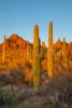 Arizona_saguaro_at_sunset-2471
