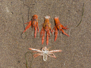 Crustacean die off on Santa Cruz Island. Santa Cruz Island is the largest of the eight islands in the Channel Islands of California.