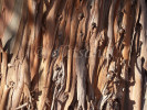 Eucalyptus bark peeling off of trunk of older tree creating interesting pattern of repeated form.