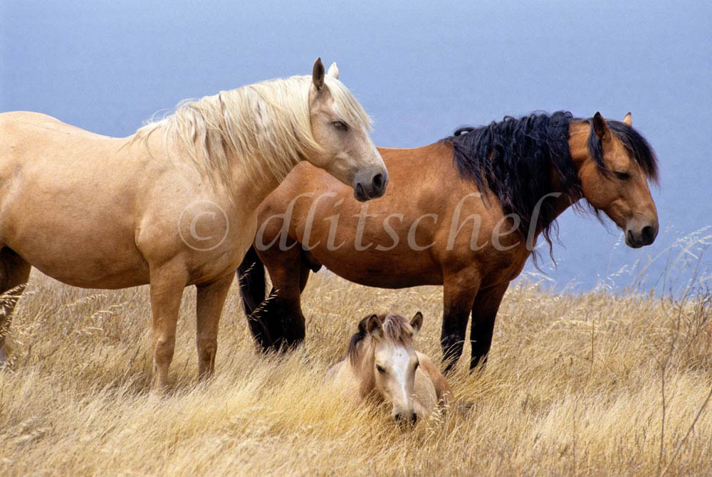 Two adult horses and one colt rest in the tall dry grass beside the Pacific Ocean on Santa Cruz Island, one of the Channel Islands, off the coast of Santa Barbara, California. To purchase this image, please go to my stock agency.