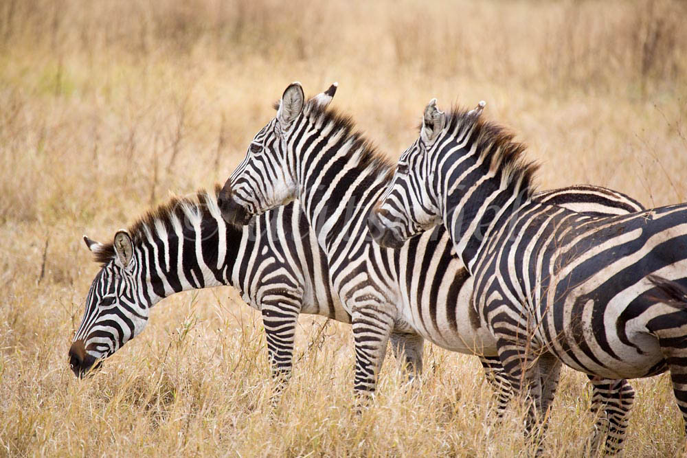 Three zebras in the Nogorongoro Crater, Tanzania, Africa. To purchase this image, please go to my stock agency.